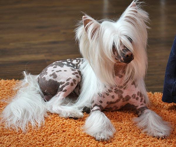 фото китайской хохлатой собаки щенки