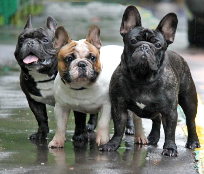 французский бульдог порода собак описание породы